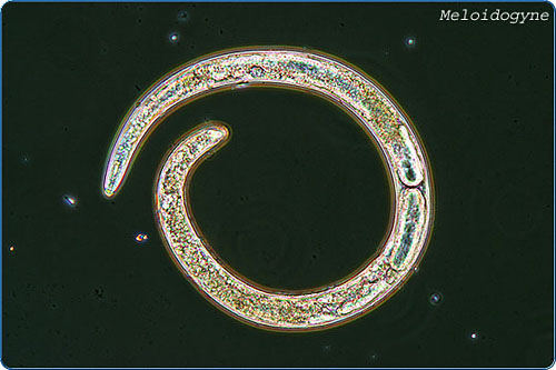 Plant parasitic nematodes reduce annual U.S. agricultural production by more than $5 billion. The most important group are the root-knot nematodes (RKN: Meloidogyne spp.), which are devastating pathogens of food and fiber crops.