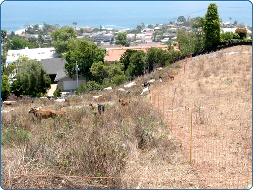 On the right side of the fence the vegetation has been removed by the goats. On the left side of the fence you see the goats hard at work on a new area. These little fellas will remove the weeds in this area in about 2 or 3 days.